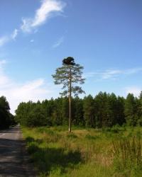Дерево сосна «Ведьмина метла»