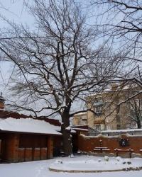 Дуб Якова Новицкого в Запорожье