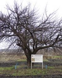 «Дерево культурной груши» на ул.Харцызская в г.Кривой Рог