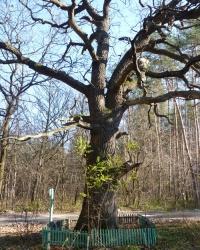 Вековой дуб возле с.Кочережки