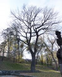 Дуб Лазаря Глобы. Вековые деревья Днепропетровщины