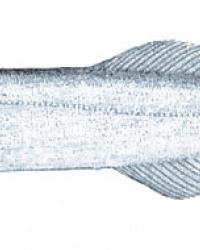 Рыба-прилипала. Тайник
