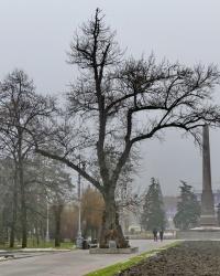 «Тополь Победы» в г.Волгограде
