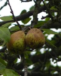 Наглый фрукт