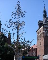 Дерево тисячоліття у Гданську