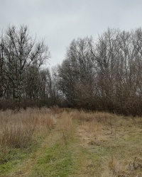 Тополина алея на мису в Коржівці в селі Сурсько-Михайлівка