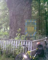 300 летний дуб