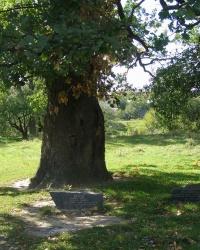 400-летний дуб в г. Новоград-Волынский