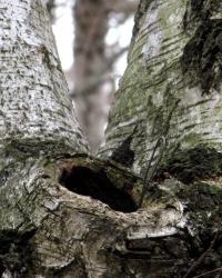 Берёзки в лесу. Тайник
